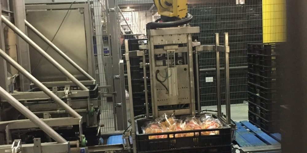 Potato packing in crates